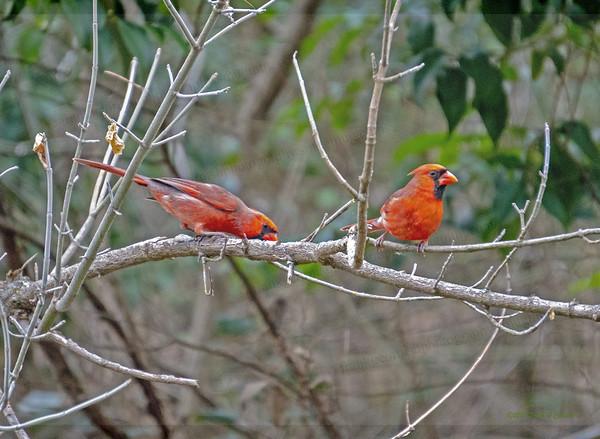 Two cardinals along Bull Creek