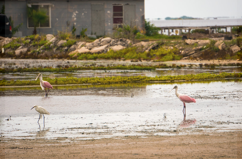 roseate spoonbills on Laguna shores