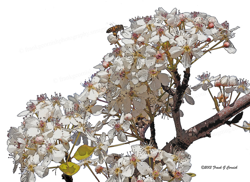 Bee and pear blossom
