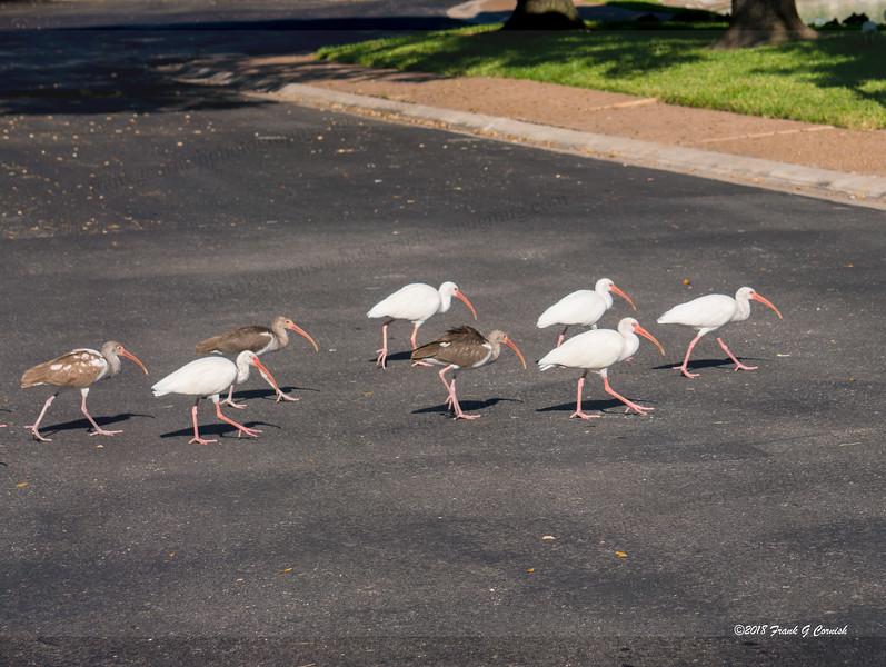 Ibis crossing road