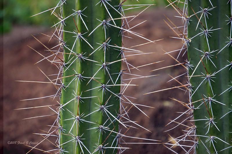 watch out cacti at Kapiolani Community College, Honolulu, Hi