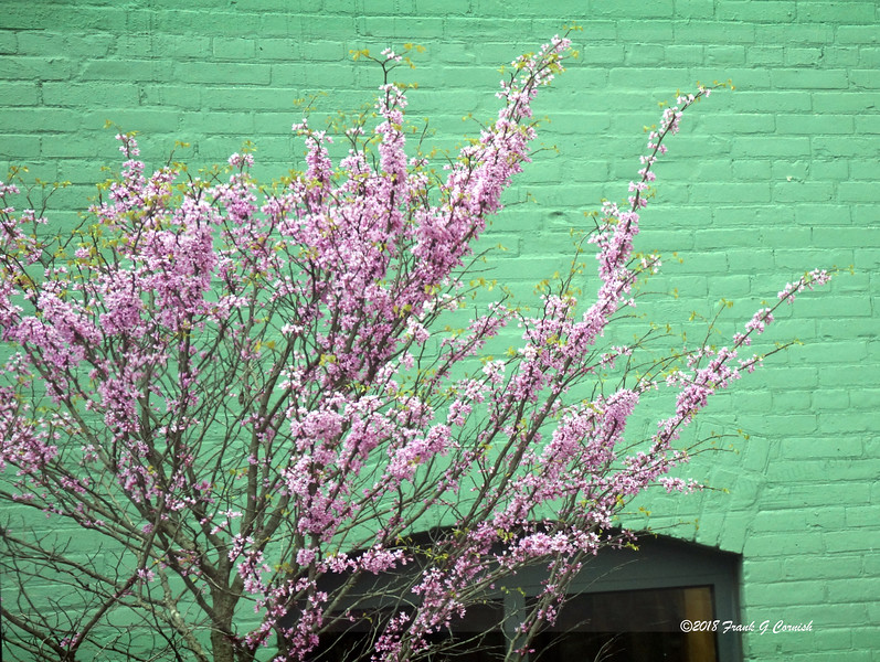 Pink blossoms on green wall
