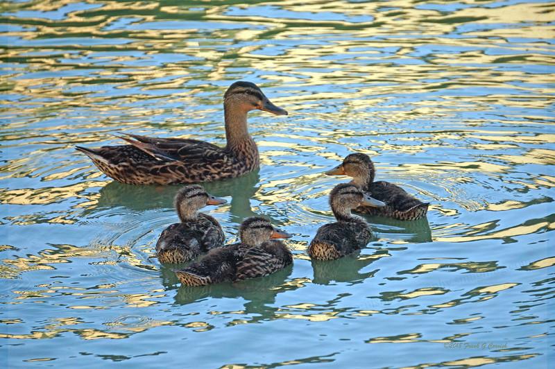 Ducks on golden pond