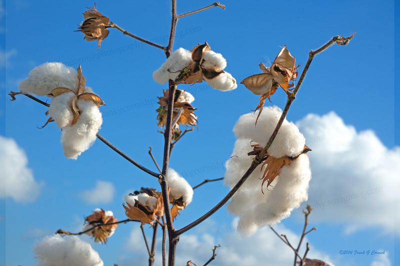 Cotton on a cottony sky