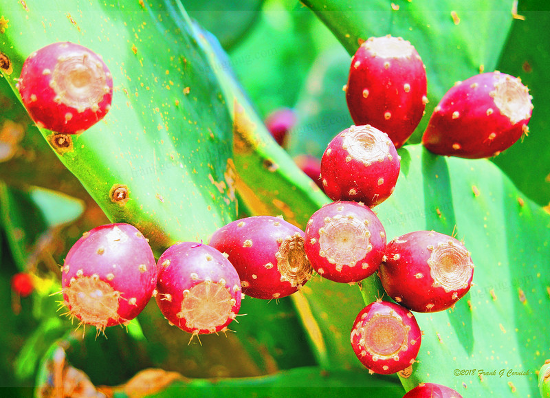 Red buttons on prickly pear