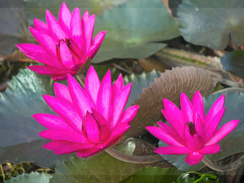 Pink lily pad blooms