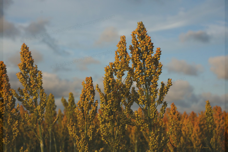 ripe apple trees in fall or sorghum close up?