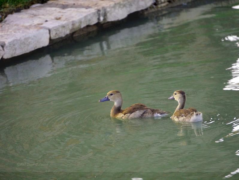 Ducklings no more