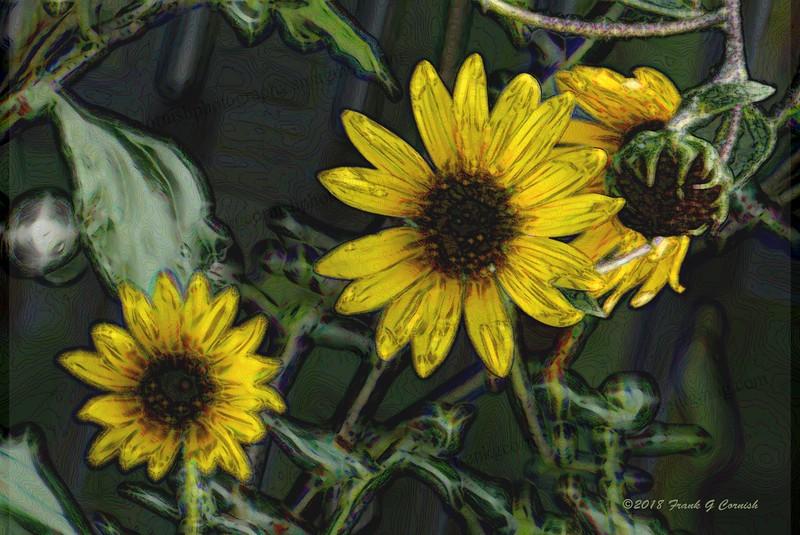 Austin sunflowers