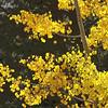 Fall Aspens, Independence Pass