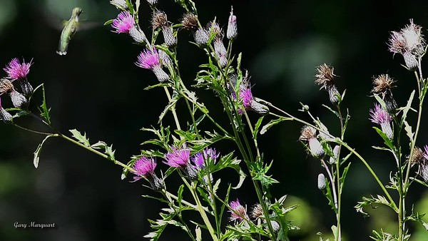 Hummingbird @ Thistle