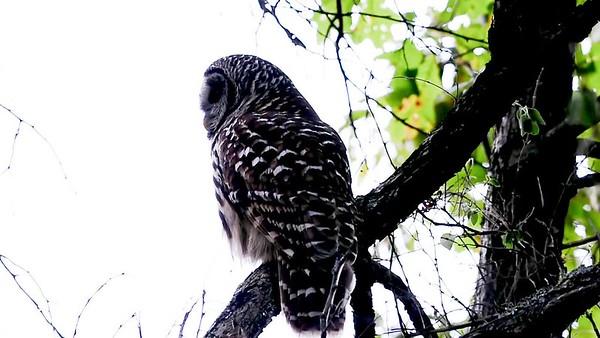 Owl Head Turn