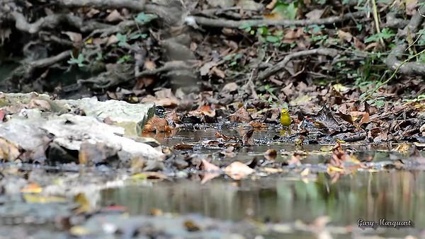Robin & Warbler Bathing