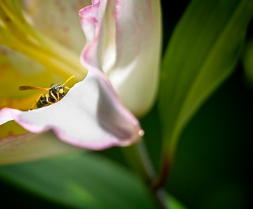 WASP ON PETAL
