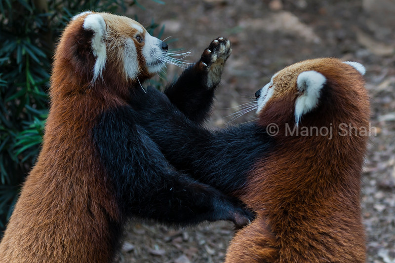 Female Red Panda pushing male away