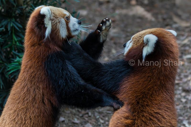 Female Red Panda pushing male away