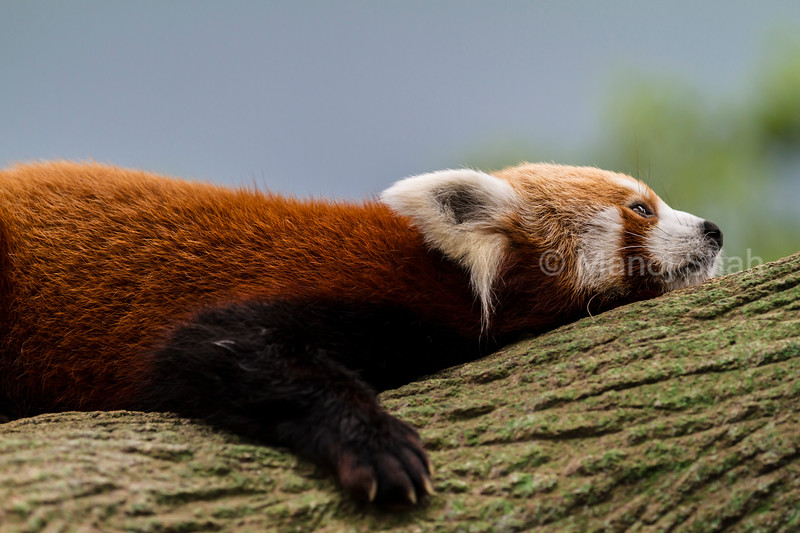 Red Panda resting on a tree trunk