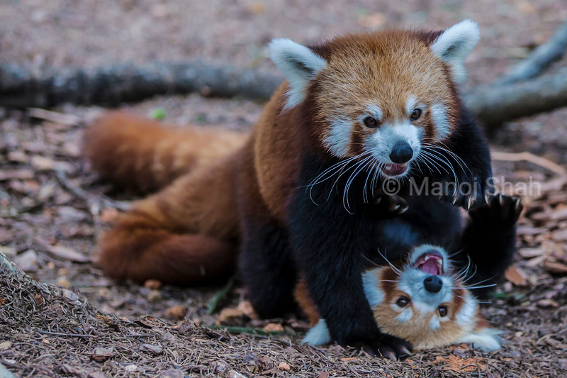 Female Red Panda trying to push male away