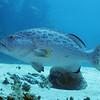 Yellowfin Grouper