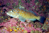 Male Kelp Greenling - Greenling Family