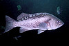 Black Rockfish - Scorpionfish Family