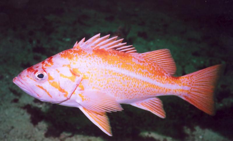 Canary Rockfish - Scorpionfish Family