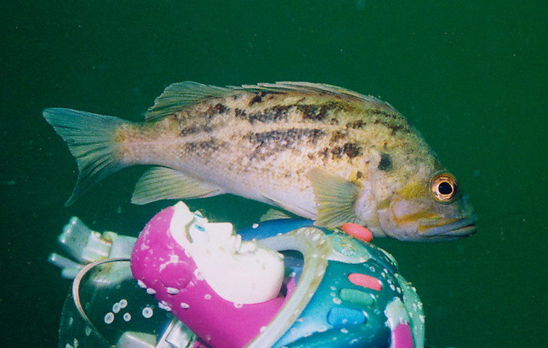 Brown Rockfish - Scorpionfish Family,  with Buzz Lightyear - Space Ranger (to infinity....and beyond!)