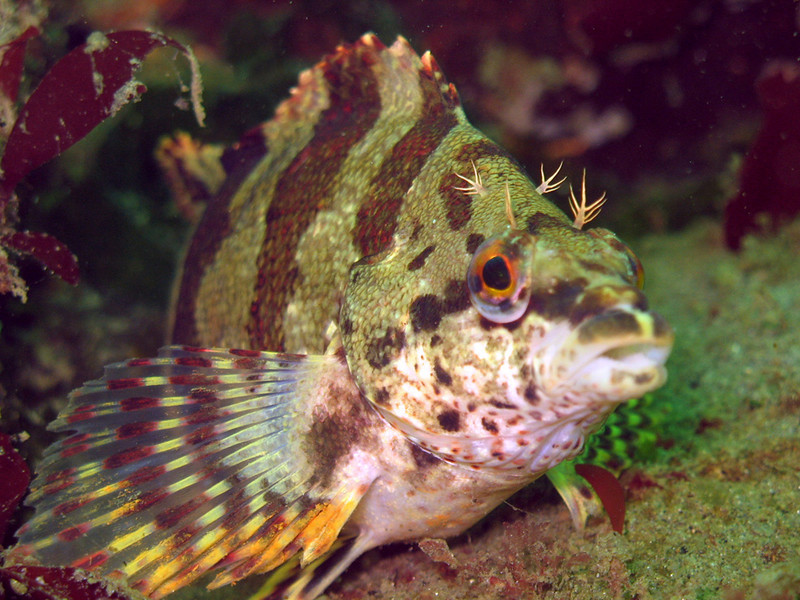 Painted Greenling - Greenling Family