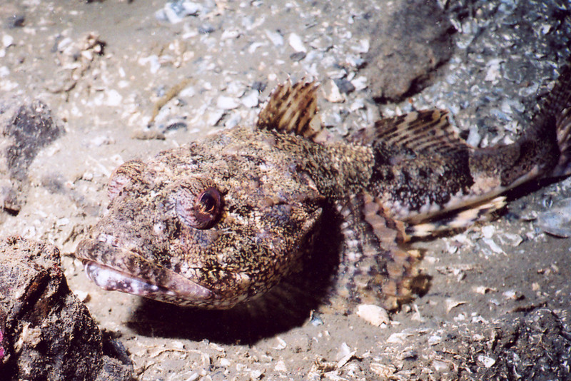 Great Sculpin - Sculpin Family
