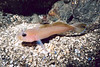 Blackeye Goby - Goby Family
