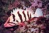 Tiger Rockfish - Scorpionfish Family