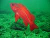 Vermilion Rockfish - Scorpionfish Family