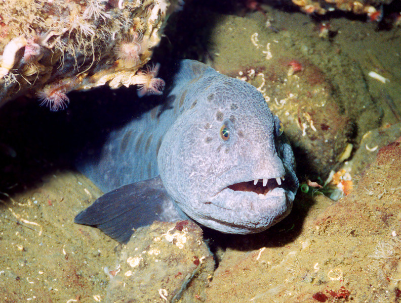 Wolf Eel - Wolf Fish Family