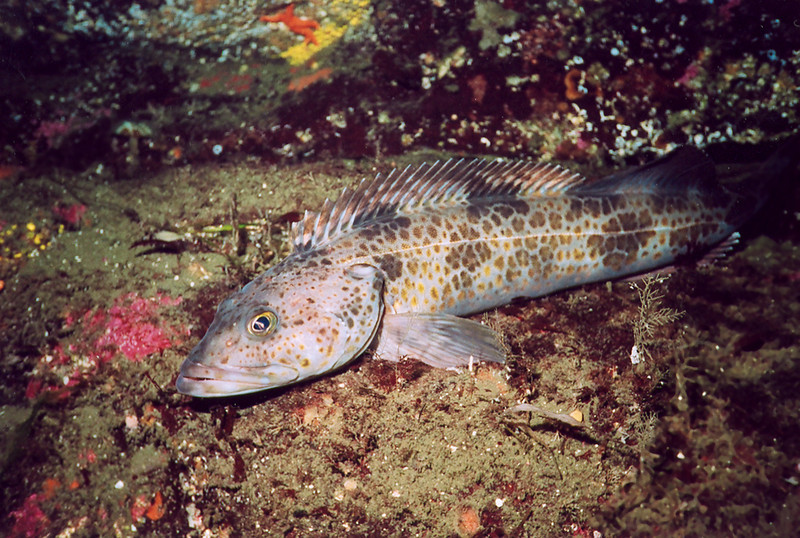 Ling Cod - Greenling Family