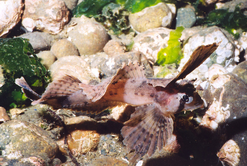 Sailfin Sculpin - Sculpin Family