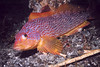 Female Kelp Greenling - Greenling Family