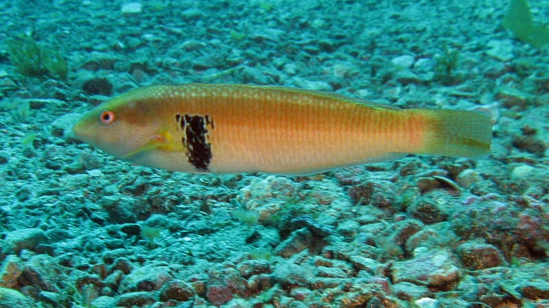 Rock Wrasse - male	Wrasse Family