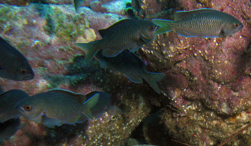 Blacksmith	Damselfish Family