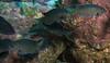BlacksmithDamselfish Family