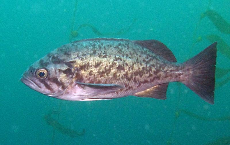 Blue RockfishScorpionfish Family