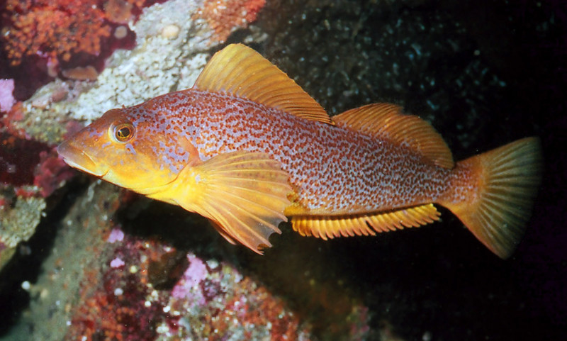 Kelp Greenling - Female	Greenling Family