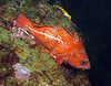 Vermilion Rockfish Scorpionfish Family