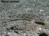 Bay Goby	Goby Family<br /> Photo by Steve Lonhart