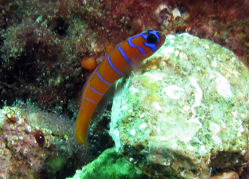 Bluebanded Goby	Goby Family