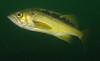 Yellowtail RockfishScorpionfish Family