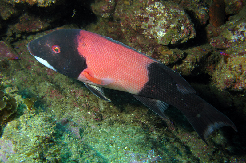 California Sheephead - male	Wrasse Family