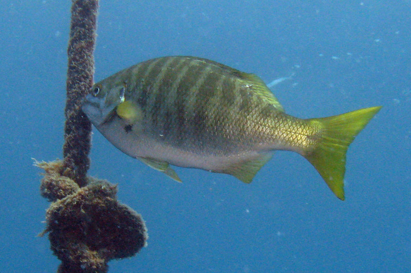 Zebraperch	Sea Chub Family