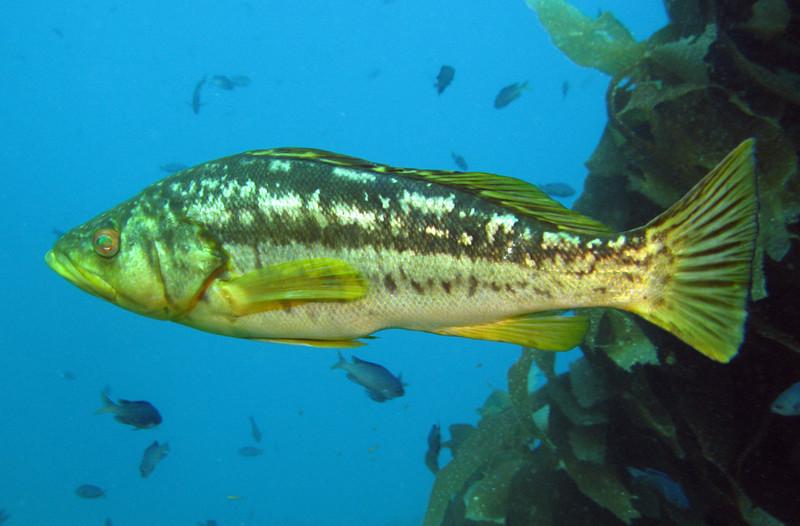 Kelp BassSea Bass Family
