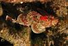 California ScorpionfishScorpionfish Family