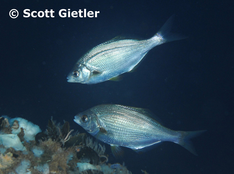 White Seaperch	Surfperch Family<br /> © Scott Gietler